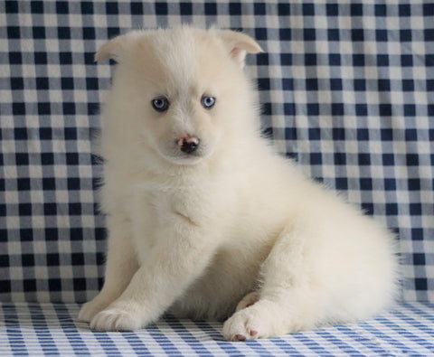 Pomsky For Sale Sugarcreek, OH Male - Max