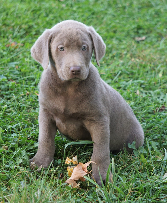 AKC Registered Silver Labrador Retriever For Sale Sugarcreek, OH Male - Diesel