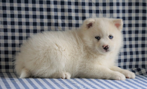 Pomsky For Sale Sugarcreek, OH Male - Charlie