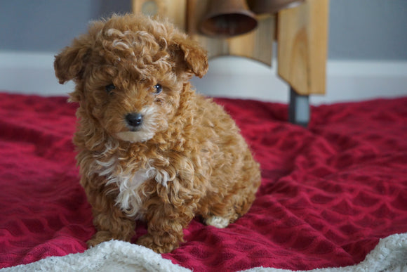 AKC Registered Toy Poodle For Sale Sugarcreek, OH Female- Lil' Miracle
