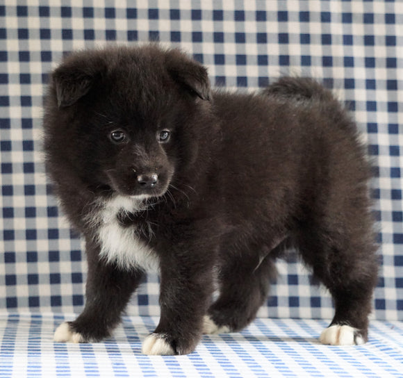 Pomsky For Sale Sugarcreek, OH Male - Marco
