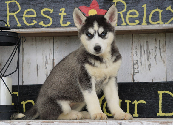 CKC Registered Siberian Husky For Sale Millersburg, OH Female - Lexi