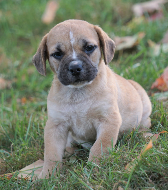 Puggle For Sale Sugarcreek, OH Male - Jack