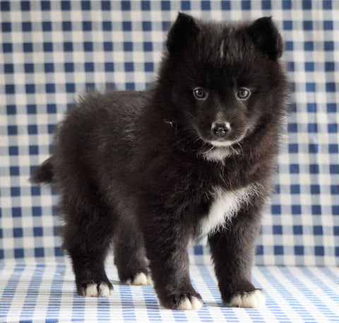 Pomsky For Sale Sugarcreek, OH Female - Lola