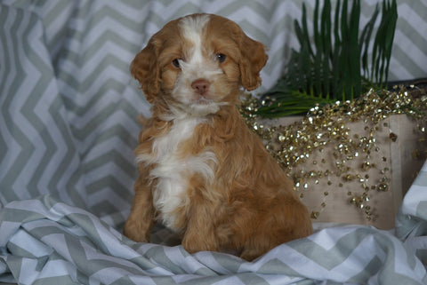 Cockapoo For Sale Millersburg, OH Male- Stanley