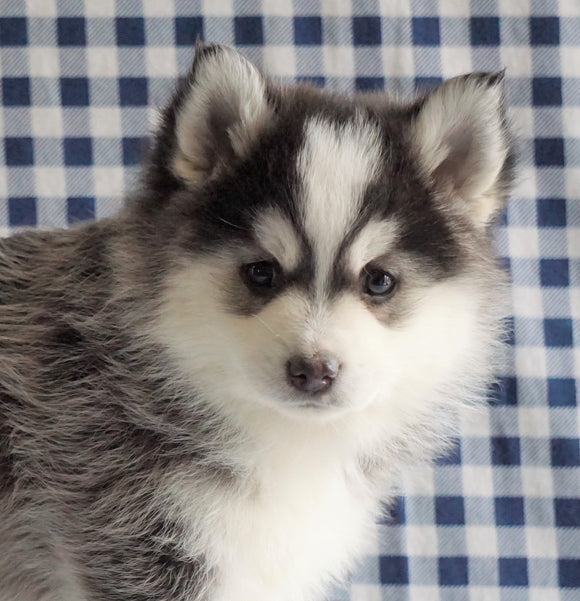 Pomsky For Sale Sugarcreek, OH Male - Rambo