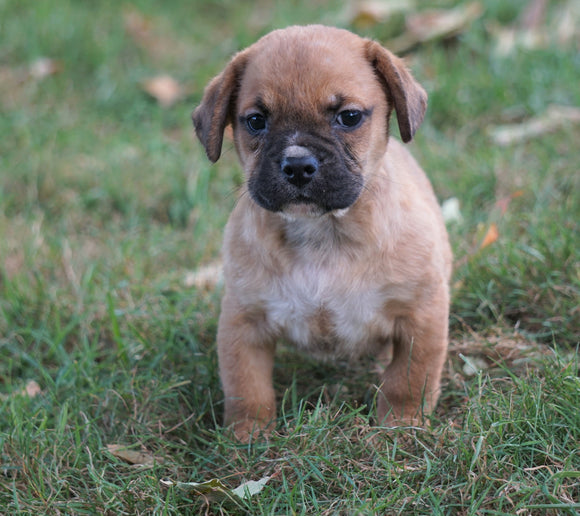 Puggle For Sale Sugarcreek, OH Female - Trixie