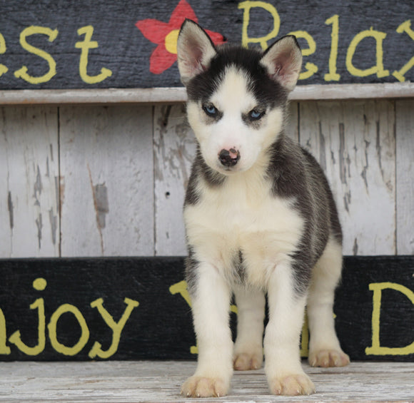 CKC Registered Siberian Husky For Sale Millersburg, OH Male - Dallas