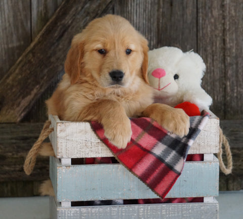 AKC Registered Golden Retriever For Sale Fredericksburg, OH Female- Greta