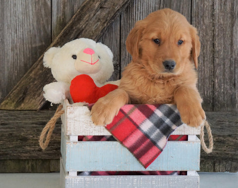 AKC Registered Golden Retriever For Sale Fredericksburg, OH Male- Galax