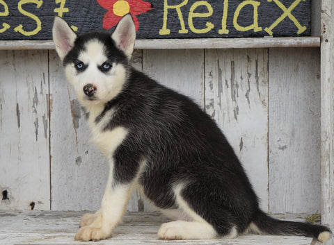 CKC Registered Siberian Husky For Sale Millersburg, OH Female - Dixie