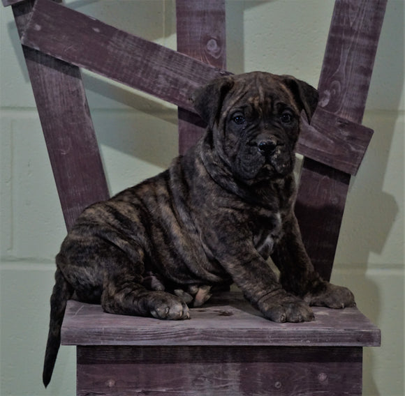 UKC Registered Presa Canario For Sale Fresno, OH Male- Blitz