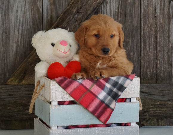 AKC Registered Golden Retriever For Sale Fredericksburg, OH Male- Grant