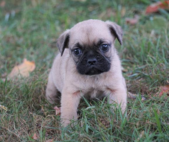 Puggle For Sale Sugarcreek, OH Female - Zoey