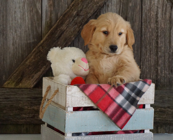 AKC Registered Golden Retriever For Sale Fredericksburg, OH Male- Gabe