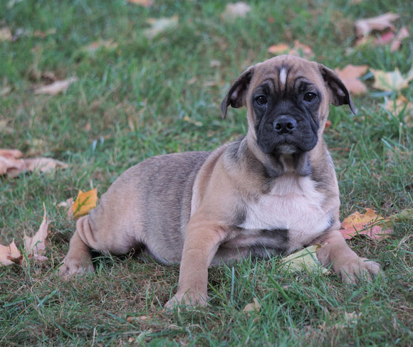 English Bulldog/Puggle For Sale Sugar Creek, OH Male- Grady