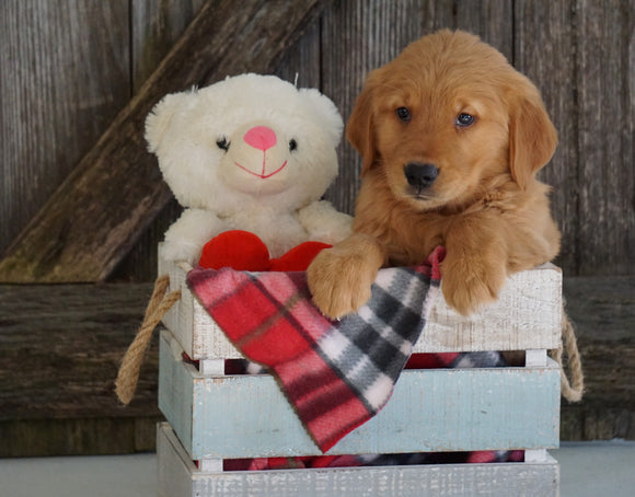 AKC Registered Golden Retriever For Sale Fredericksburg, OH Male- Gariet