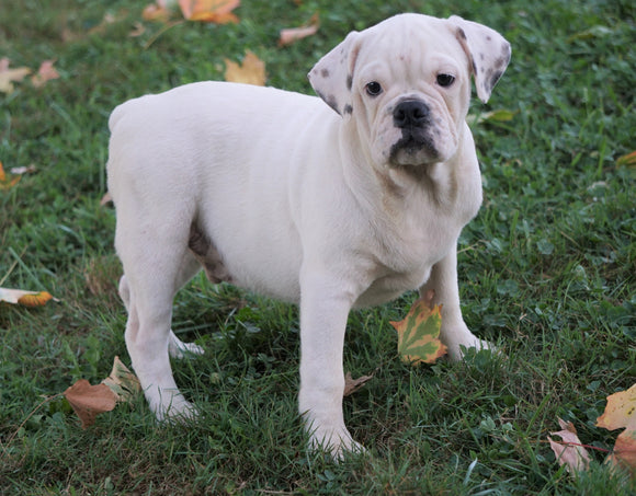 English Bulldog/Puggle For Sale Sugar Creek, OH Male- Connor