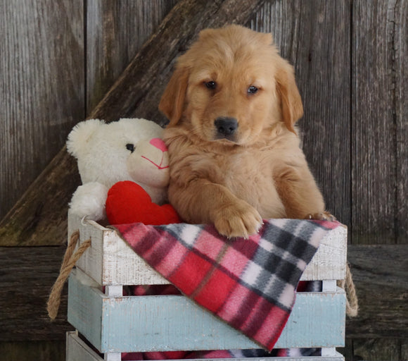 AKC Registered Golden Retriever For Sale Fredericksburg, OH Male- Geo