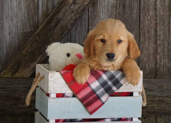 AKC Registered Golden Retriever For Sale Fredericksburg, OH Male- Garth