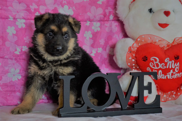 AKC Registered German Shepherd For Sale Millersburg, OH Female- Lexis