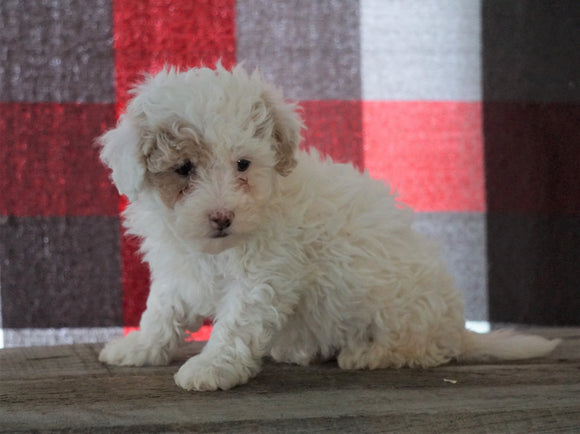 Bichpoo For Sale Millersburg, OH Male - Tanner