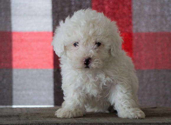 Bichpoo For Sale Millersburg, OH Male - Thatcher
