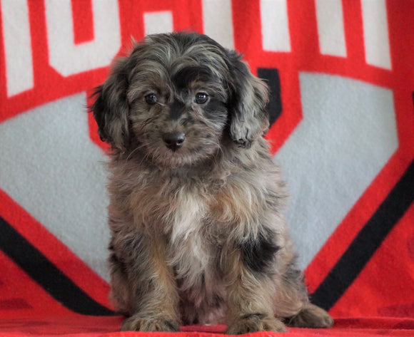 Mini Aussiedoodle For Sale Fredericksburg, OH Male- Nash