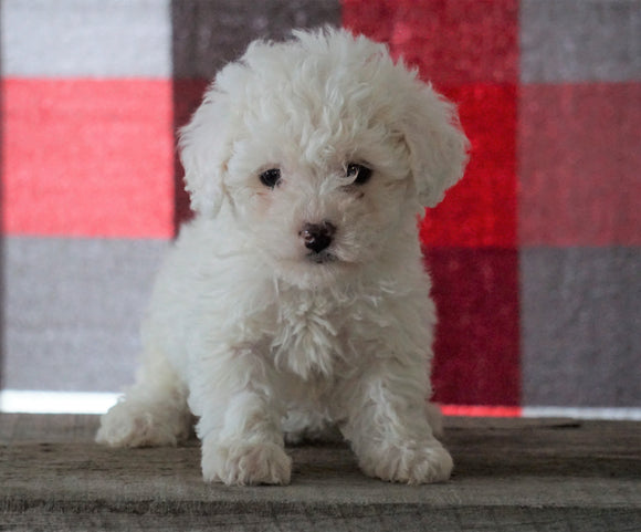 Bichpoo For Sale Millersburg, OH Female - Tyra