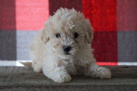 Bichpoo For Sale Millersburg, OH Female - Totsi