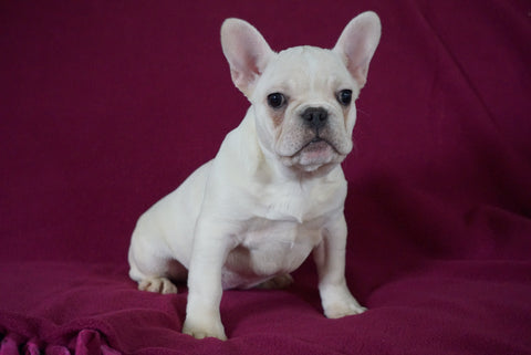 AKC Registered French Bulldog For Sale Millersburg, OH Female- Nancy