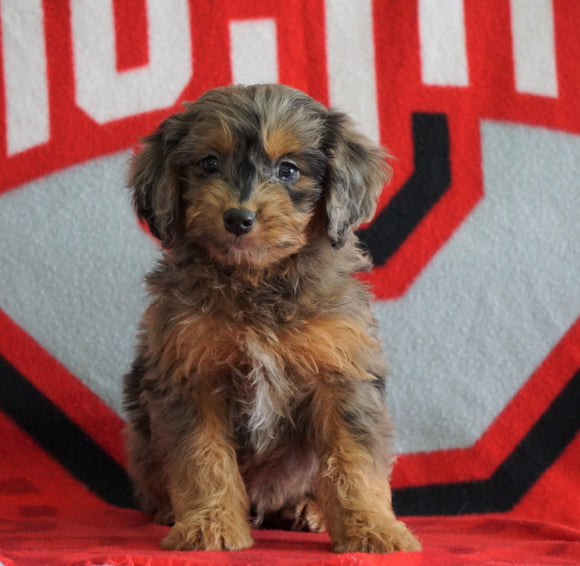 Mini Aussiedoodle For Sale Fredericksburg, OH Male- Nick
