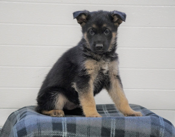 AKC Registered German Shepherd For Sale Waynesburg, OH Male - Chance