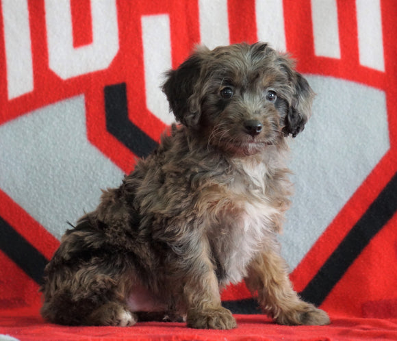 Mini Aussiedoodle For Sale Fredericksburg, OH Male- Nicko