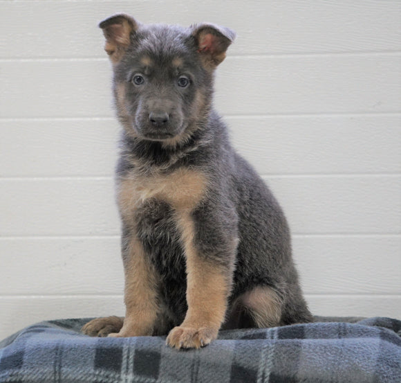 AKC Registered German Shepherd For Sale Waynesburg, OH Female - Athena