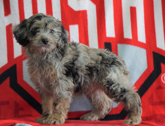 Mini Aussiedoodle For Sale Fredericksburg, OH Male- Nebo