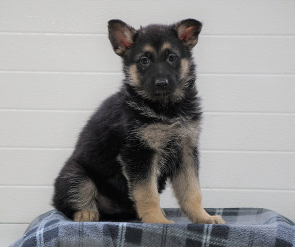 AKC Registered German Shepherd For Sale Waynesburg, OH Female - Jasmine