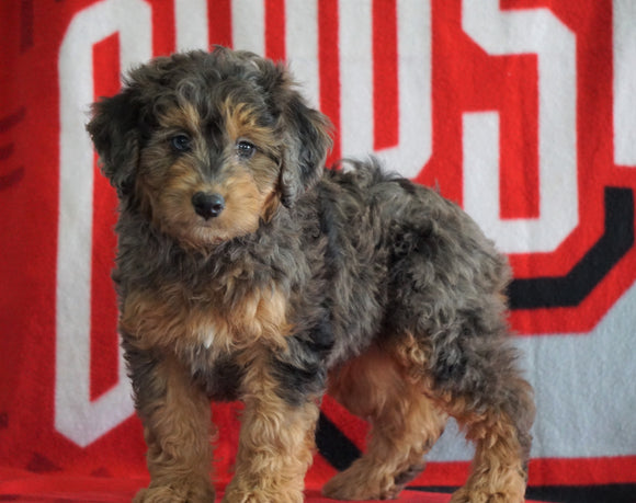 Mini Aussiedoodle For Sale Fredericksburg, OH Male- Nolan