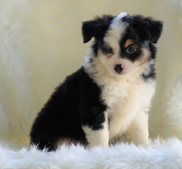 Mini Australian Shepherd Millersburg, OH Male - Flash