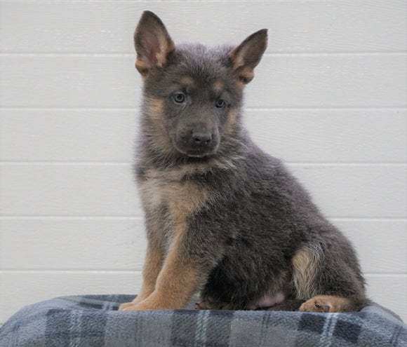 AKC Registered German Shepherd For Sale Waynesburg, OH Male - Axel