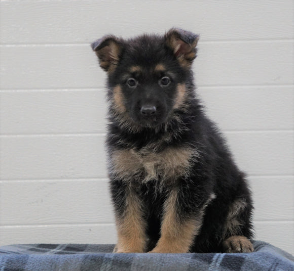 AKC Registered German Shepherd For Sale Waynesburg, OH Female - Princess