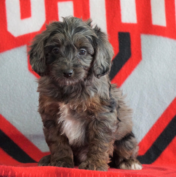 Mini Aussiedoodle For Sale Fredericksburg, OH Male- Nevin