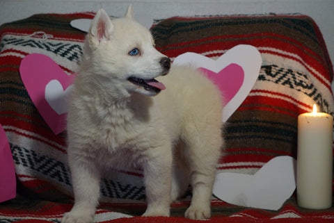 Siberian Husky For Sale Fredericksburg, OH Male- Dual