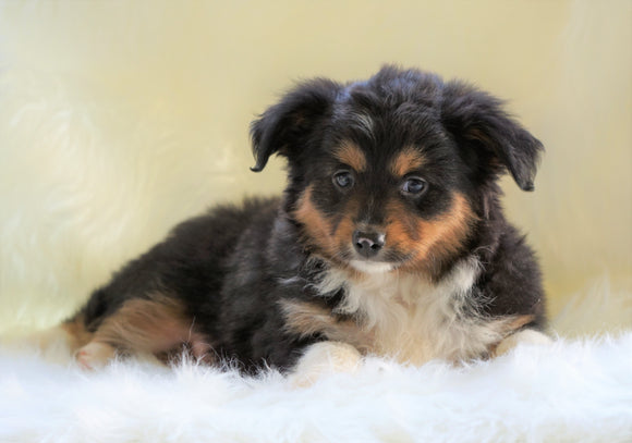 Mini Australian Shepherd Millersburg, OH Male - Tucker