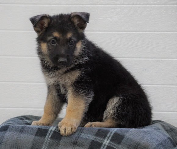 AKC Registered German Shepherd For Sale Waynesburg, OH Female - Leena