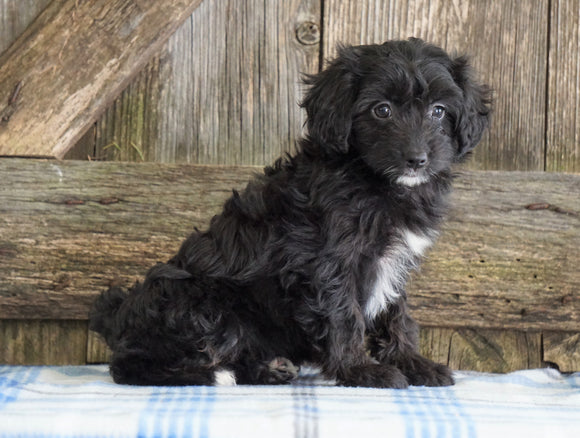 Mini Aussiedoodle For Sale Fredericksburg, OH Female- Nancy