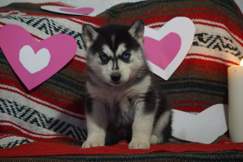 Siberian Husky For Sale Fredericksburg, OH Female- Erin