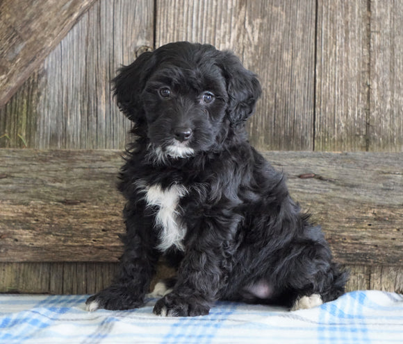 Mini Aussiedoodle For Sale Fredericksburg, OH Female- Natalie