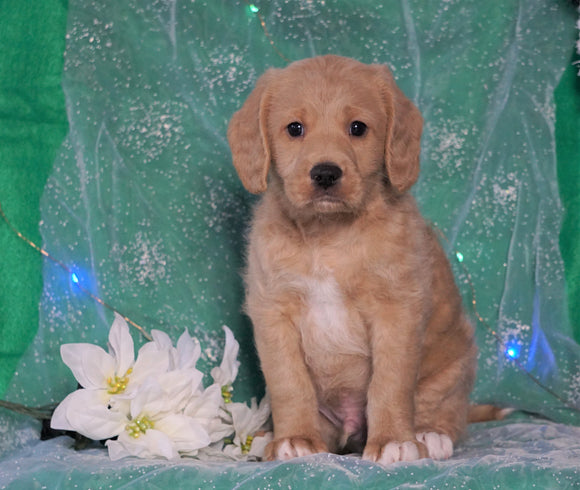 F1B Mini Labradoodle For Sale Millersburg, OH Male- Freddy