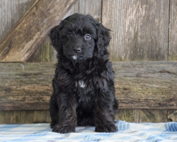Mini Aussiedoodle For Sale Fredericksburg, OH Male- Nate